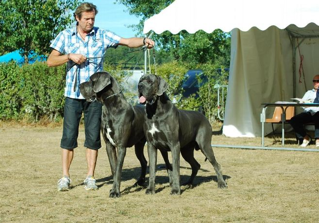 Great Dane Size and Growth Chart